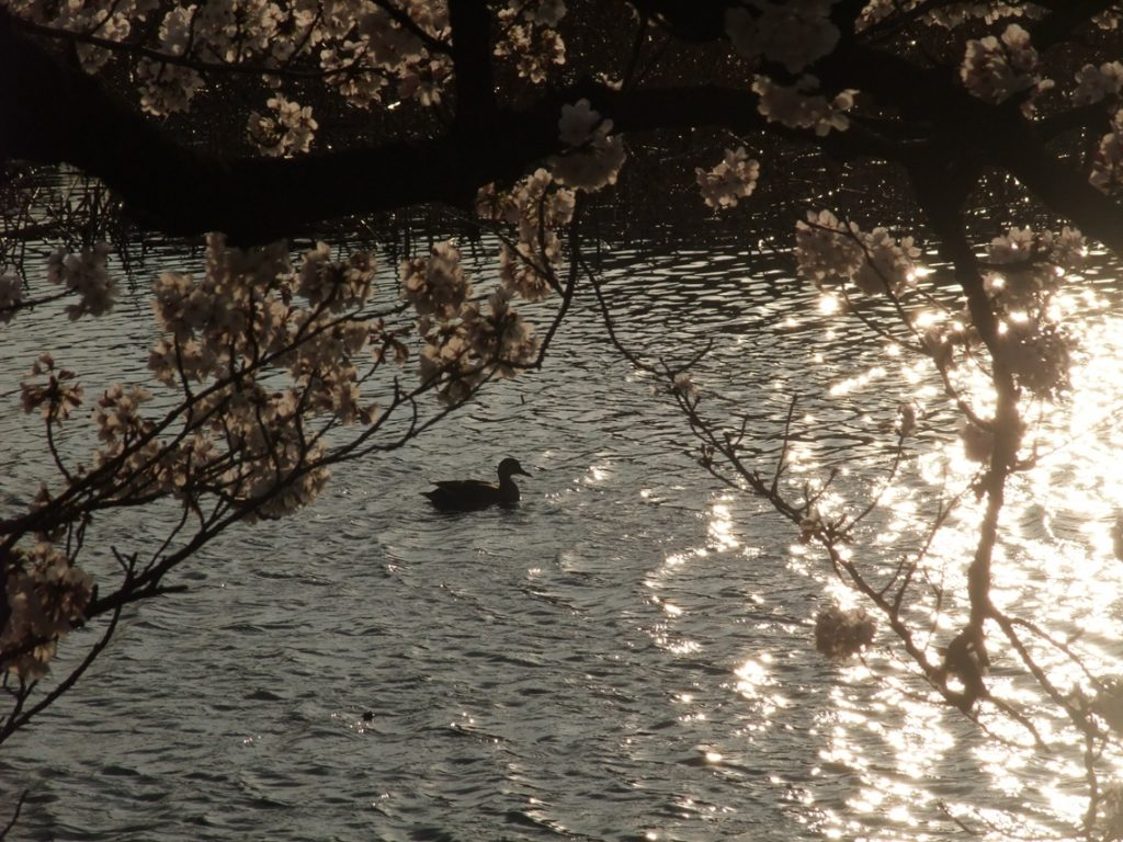 Waterfowl of Shinakazuke ©まめぶろ